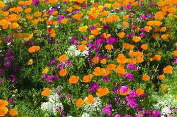 Blumenwiese mit Goldmohn