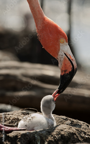 Foto op Aluminium Flamingo Baby bird of the Caribbean flamingo.