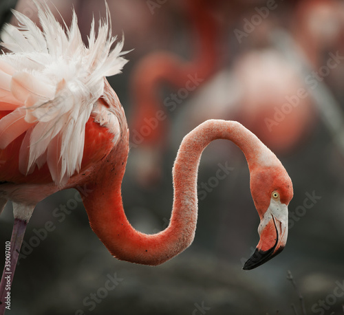 Plexiglas Flamingo Portrait of the American Flamingo.