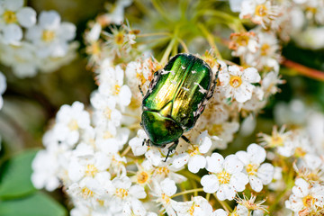 Green beatle