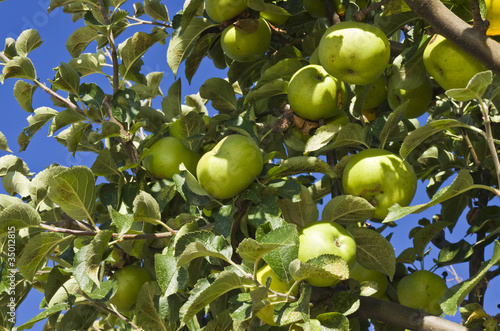 green apples on the tree .