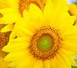 Leinwandbild Motiv Sunflower