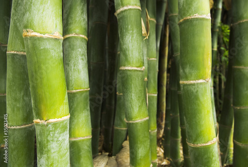 Growing green bamboo