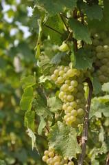 Vini d'Alsazia