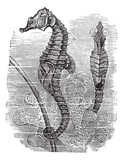 Hippocampus (Syngnathus hippocampus) or  short-snouted seahorse, poster