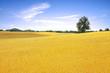 Single tall tree by golden wheat farm