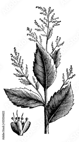 Chenopodium anthelminticum or Wormseed Goosefoot vermifuge plant