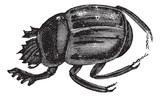 Scarab brouci nebo Ateuchus aegyptiorum. Ročník gravírování