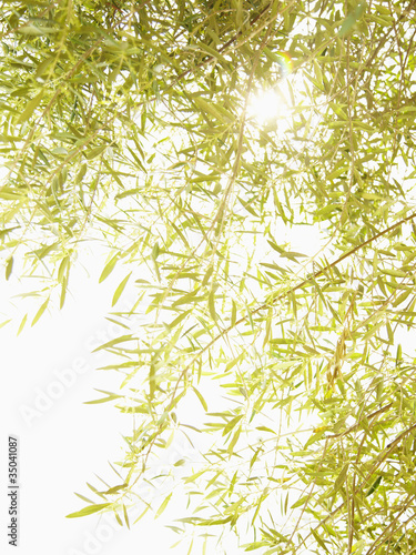 Green olive branches and leaves