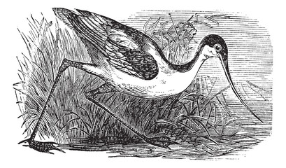 Black-capped Avocet or Recurvirostra bird. Vintage engraved.