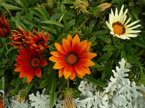 клумбовые цветы фото: