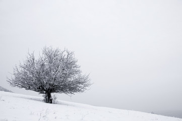 Solitaire tree in snowy country
