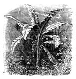Banana tree or Musa acuminata, Musa balbisiana., vintage engravi poster