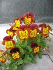 Pansies- garden flowers