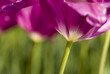 Close up of purple tulip