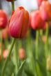 Close up of orange tulips