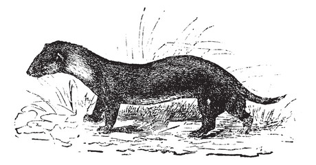The European polecat or Mustela putorius, vintage engraving.