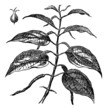 Betel or Piper betle, leaves, vintage engraving.