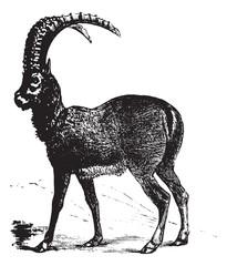 Alpine Ibex or Capra ibex, goat, vintage engraving.