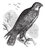 Buteo buteo or Common Buzzard, raptor, vintage engraving.