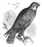 Buteo buteo or Common Buzzard, raptor, vintage engraving. poster