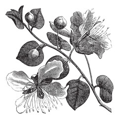 Common caper or Capparis spinosa vintage engraving