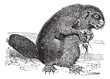 Beaver or rodent vintage engraving