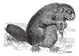 Beaver or rodent vintage engraving poster