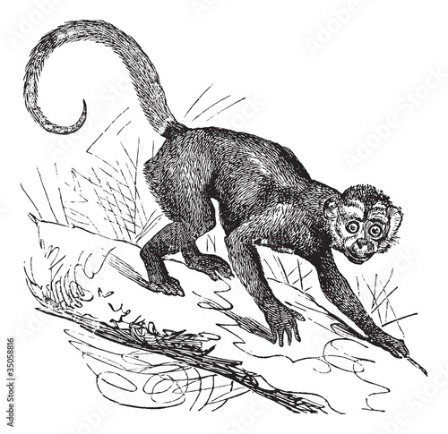 Cebus Capucinus or Capuchin vintage engraving