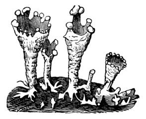 Cup lichen or Cladonia pyxidata  vintage engraving