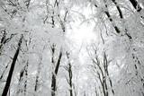 Fototapety snowy trees