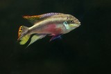 Rainbow Kribensis Fish
