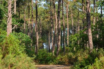 la forêt des Landes en Gironde