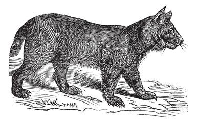 Lynx vintage engraving