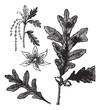White Oak vintage engraving