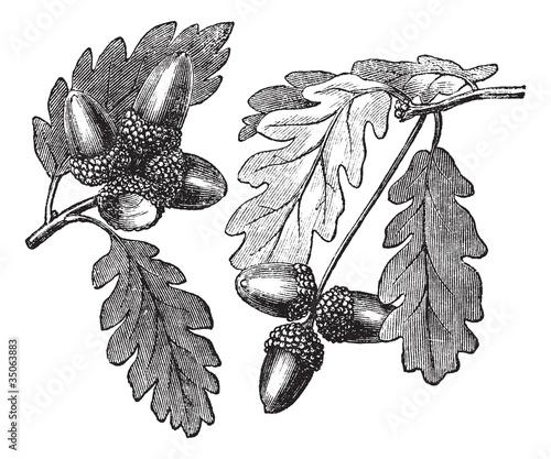 English Oak vintage engraving