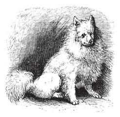 Husky vintage engraving
