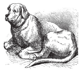 Saint Bernard vintage engraving