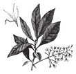 White Fringetree or Chionanthus virginicus vintage engraving