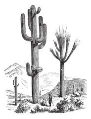 Saguaro or Carnegiea gigantea vintage engraving