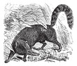 Ring-tailed Coati or South American Coati or Nasua nasua vintage