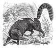 Ring-tailed Coati or South American Coati or Nasua nasua vintage