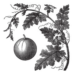 Colocynth or Bitter Apple or Bitter Cucumber or Egusi or Vine of