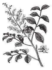 Diesel Tree or Kerosene Tree or Kupa'y or Cabismo or Copauva Cab
