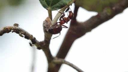 Ameise und Blattläuse