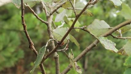 Ameisenweide