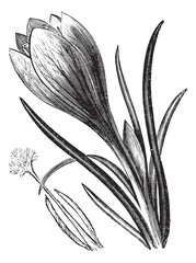 Crocus or Crocus sp. vintage engraving