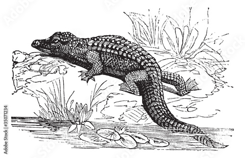 Nile Crocodile or Crocodylus niloticus vintage engraving