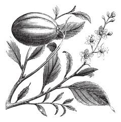 Purging Croton or Croton tiglium, vintage engraving