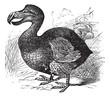 Dodo or Raphus cucullatus, vintage engraving
